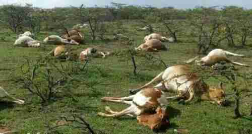 Dead cattle, allegedly shot and killed by police during shootout with herders (Standard Media)