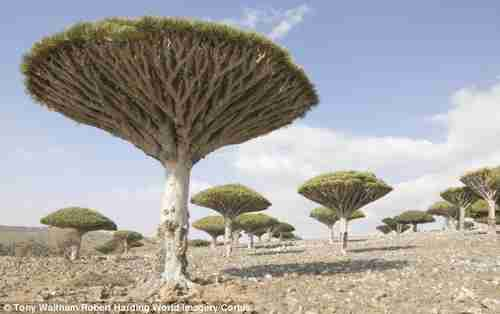 Landscape of Socotra Island, with hundreds of plant species found only there. Pictured are 'dragon's blood trees' (Corbis/Daily Mail)