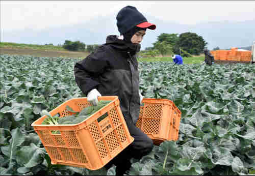 Workers from Thailand work at Green Leaf farm, in Showa Village, Gunma Prefecture, Japan, June 6, 2018. (Reuters)